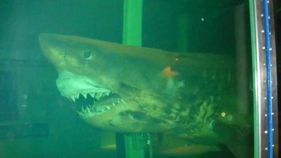 rosie the shark