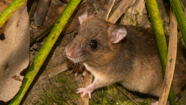 Australian mammal becomes first to be wiped out by human-induced climate change