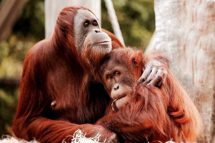 Melbourne Zoo orangutans Maimunah, 32, and her daughter Dewi, 8.
