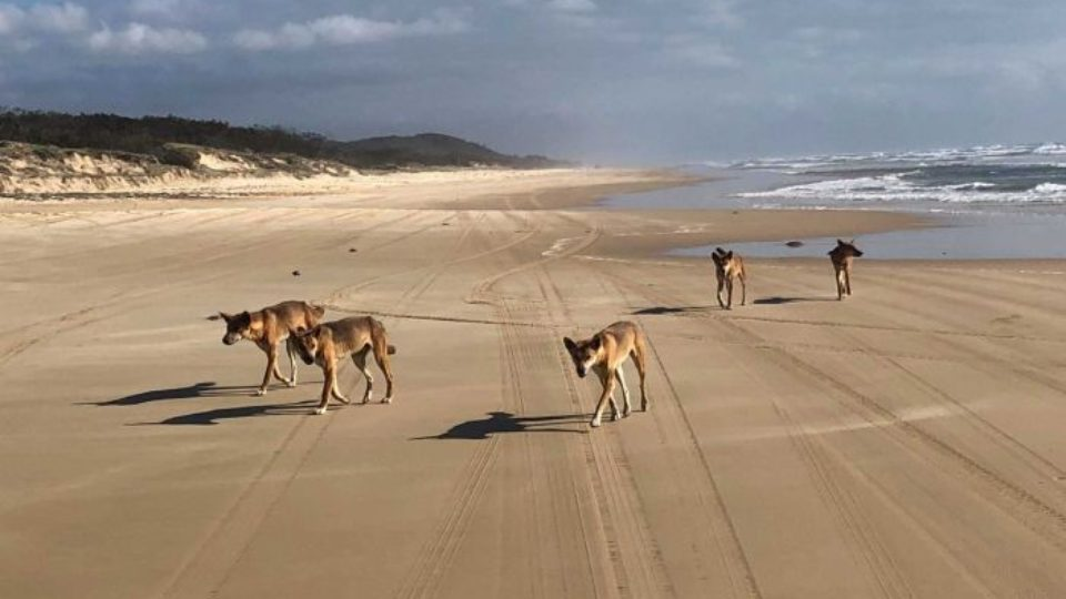 dingo-attack-fraser-island