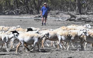 Farmer looks at his drought striken-land