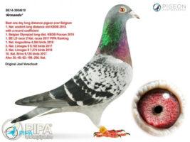 armando pigeon record