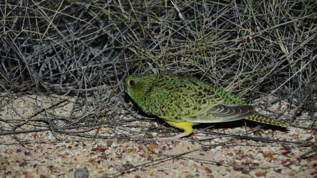 'More fake news': Experts slam dubious night parrot research after release of damning report