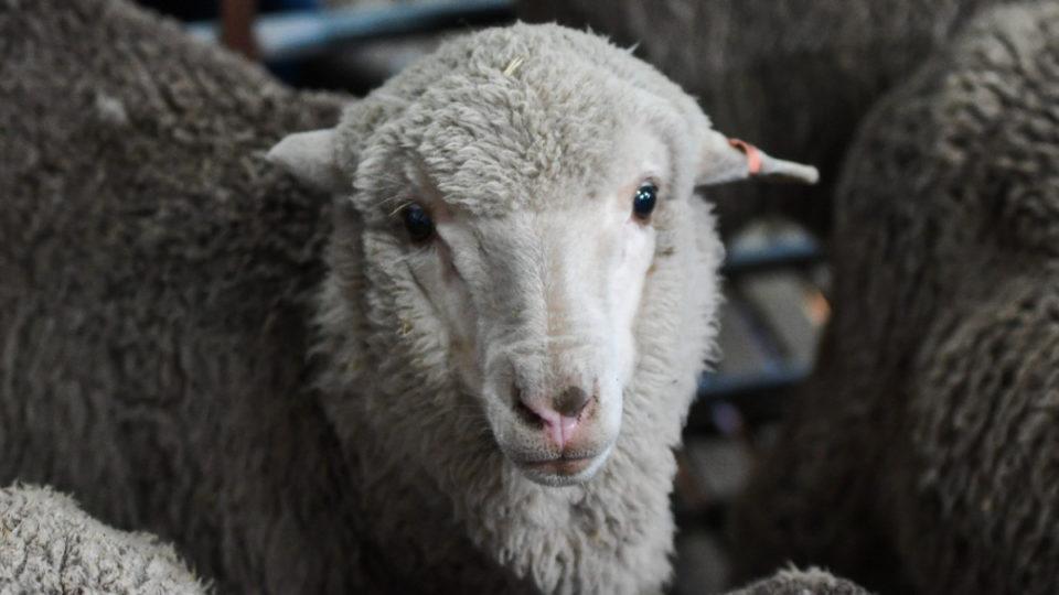 Lamb born from sperm frozen 50 years ago