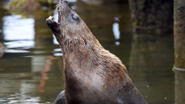 Woman still in hospital after 100kg fur seal bites her 'to the bone' at Port Fairy boat ramp