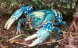 crayfish-poachers