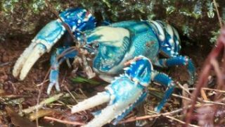 crayfish-poachers