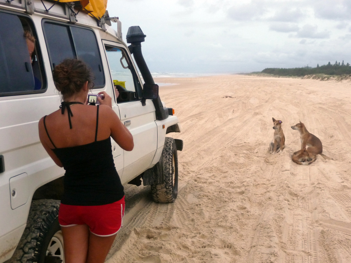 Dingoes Fraser Island