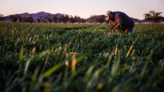 A farmer checks his wheat crop as it grows in a paddock on his property near Gunnedah...