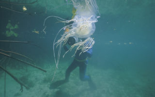 box jellyfish antivenom