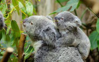 koalas-functionally-extinct