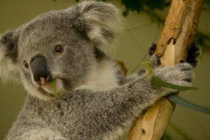 koalas-health