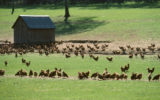 free-range-chickens-farms