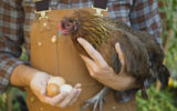 A farmer holding a chicken and some eggs