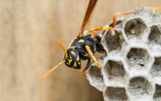 Close-up of a wasp