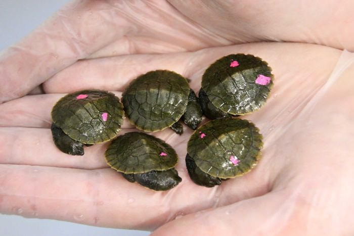 Bellinger River Snapping Turtle hatchlings. Photo: Paul Fahy.