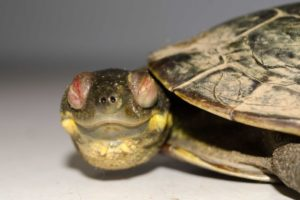 One of the turtles that was affected by the disease.