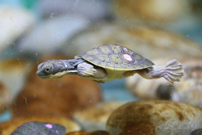 Conservationists say that the return of the turtles to their Bellinger river habitat gives them hope.