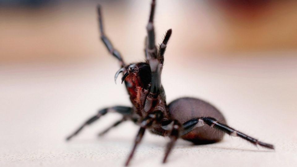 Funnel web spider life saving properties