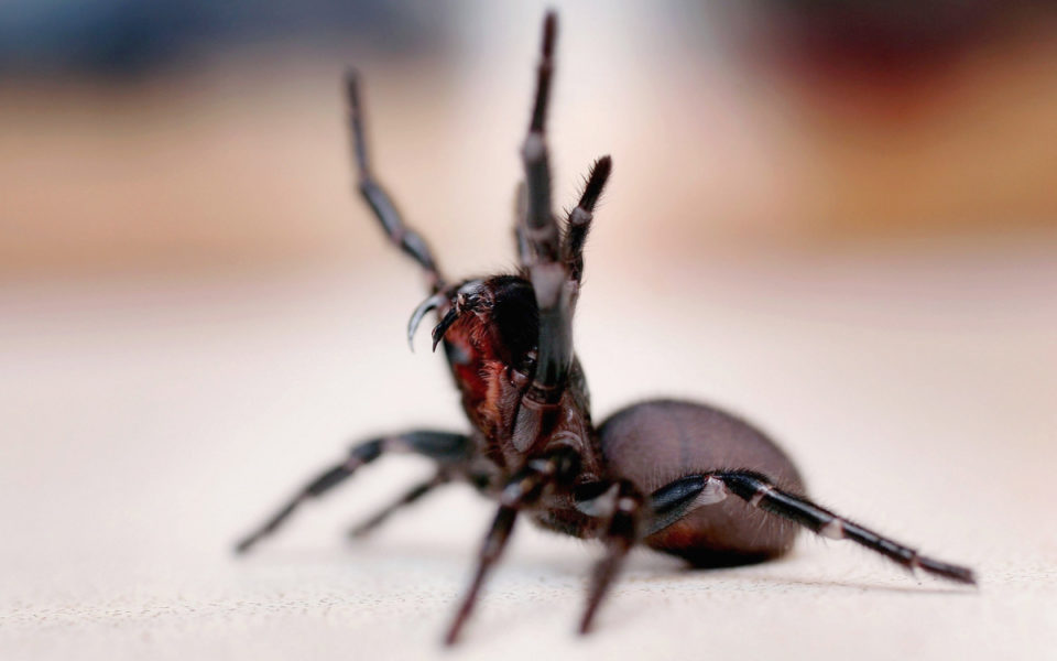 Heart attack? Funnel web spiders coming to the rescue