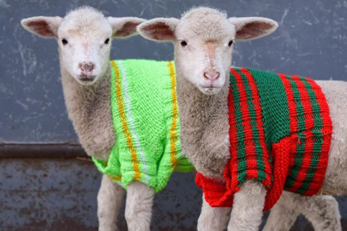 lambs wearing woolly jumpers in winter cold