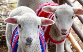 lambs being given woolly jumpers