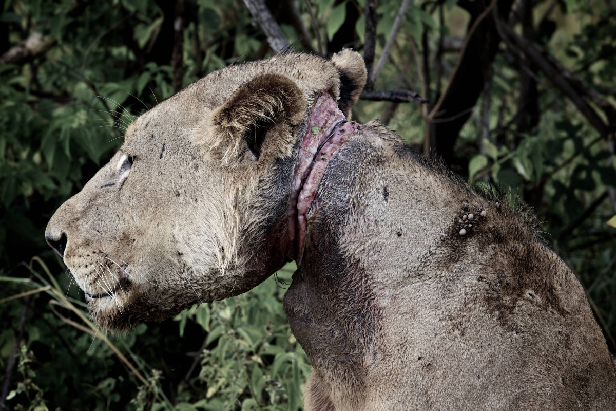 Injured lion Africa