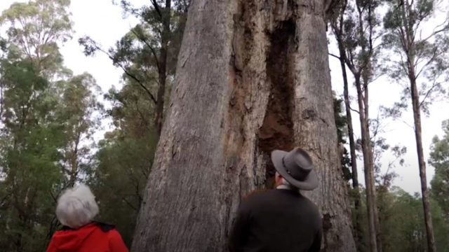 Only three per cent of this rare Australian forest remains, but volunteers are working to save it