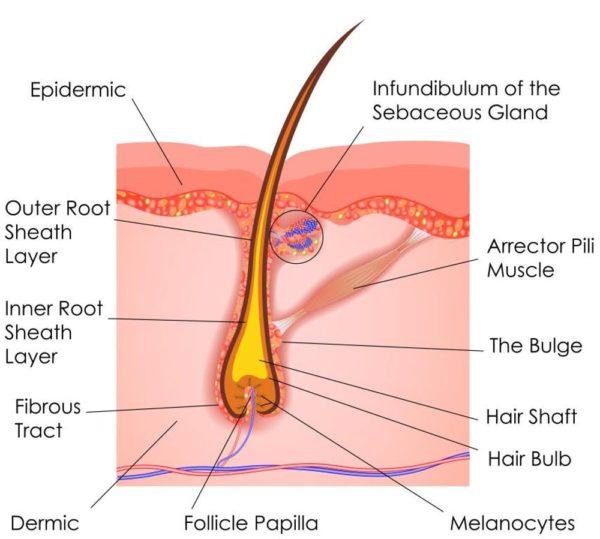 Diagram of a hair follicle