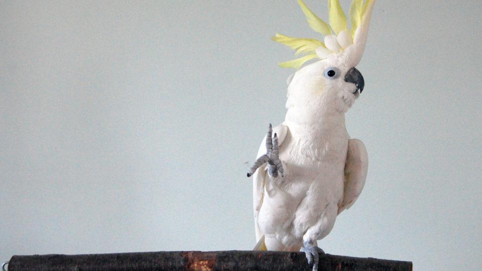 dancing cockatoo study