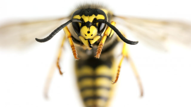Enhanced vaccine: Protects faster and longer against killer bee stings
