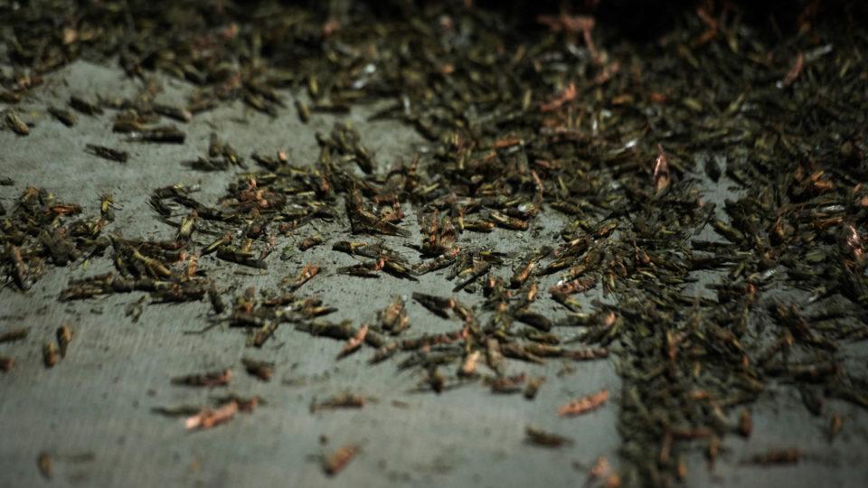 las-vegas-grasshopperes