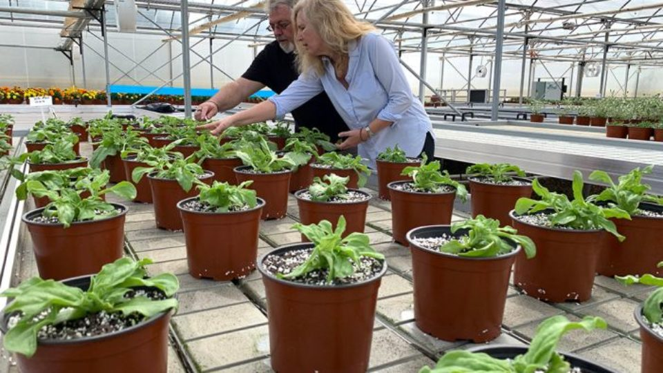 Pocket Herbs owner Iain Reynolds with Southern Cross University researcher Dr Bronwyn Barkla tend to plants in a greenhouse.