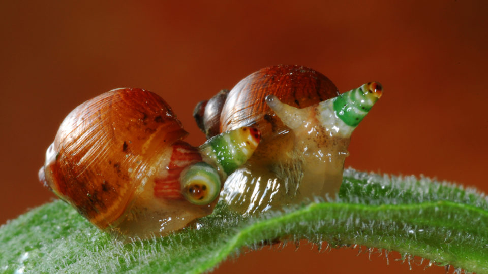 zombie-snail-parasitic-worms