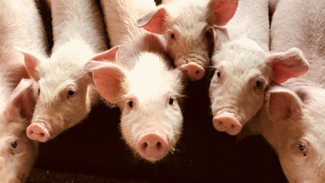 Pig hearts could be suitable for transplant into humans