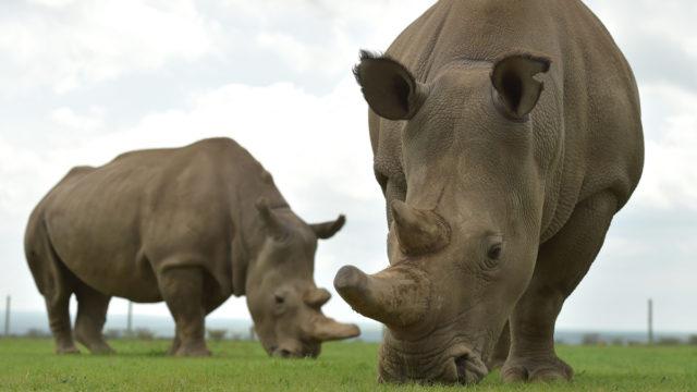 White rhino egg harvest gives conservation hope