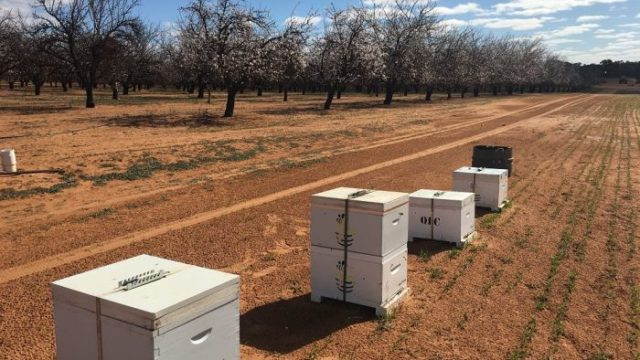 Demand for bees increases as almond industry grows