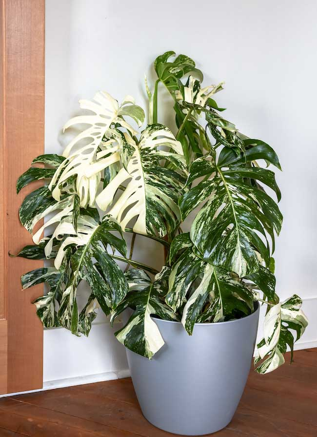 "The ""Thai Constellation"" variegated Monstera. Photo: Pistils Nursery"