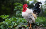 rooster kills woman