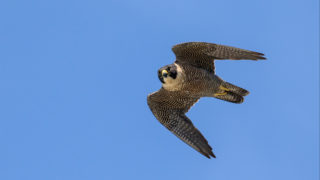 A peregrien falcon in flight.