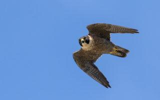 A peregrien falcon in flight.