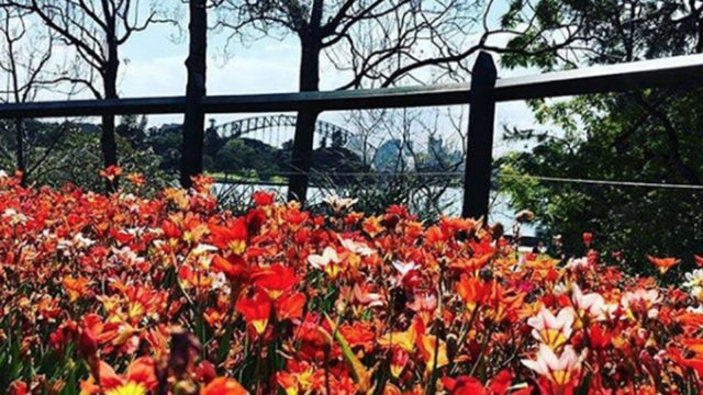 The blooms and views at Sydney's Royal Botanic Gardens are a national seasonal highlight.