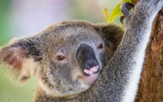 koalas australia