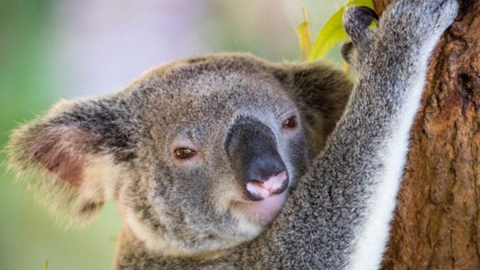 nsw koala legislation defeat