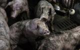 china-polar-bear-pigs