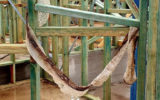 snake missing sydney