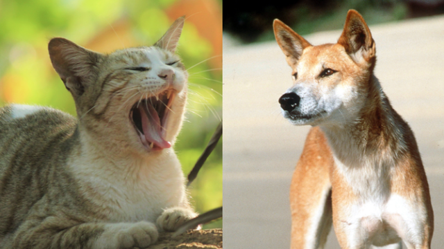 Dingoes are no solution to the feral cats slaughtering our endangered wildlife: study