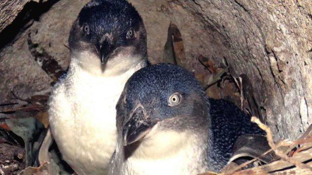 Study reveals fishing habits of little penguins from Tasmanian colonies