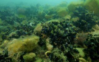 reefs-oysters