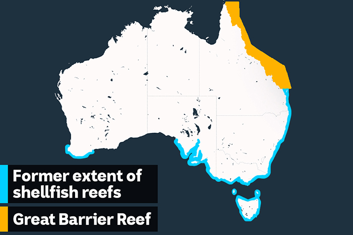 After being dredged to nearly nothing, Australia's lost shellfish reefs are roaring back to life_4